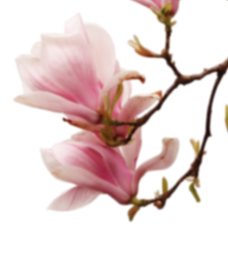 magnolia_bg_r